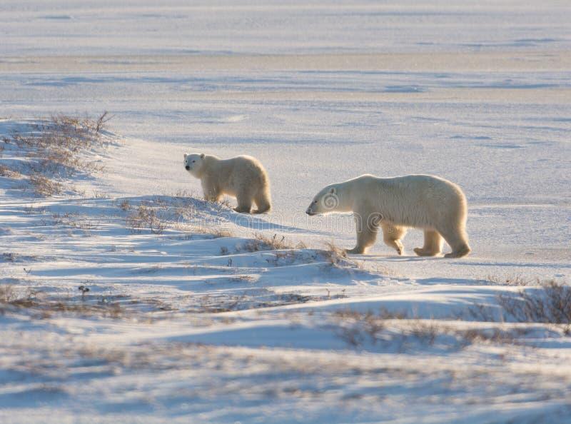 Kvinnlig isbjörn och gröngöling royaltyfri bild