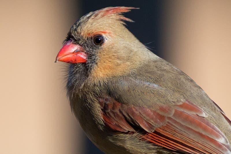 Kvinnlig kardinal Detailed Portrait royaltyfria foton