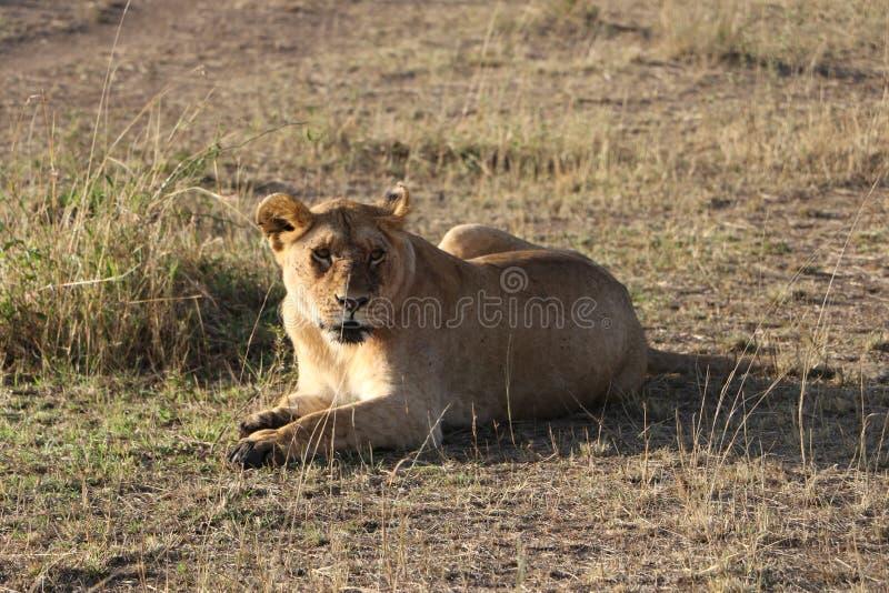 Kvinnlig lejoninna i den lösa maasaien mara arkivbild