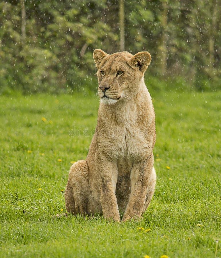 Kvinnlig Lion royaltyfria bilder