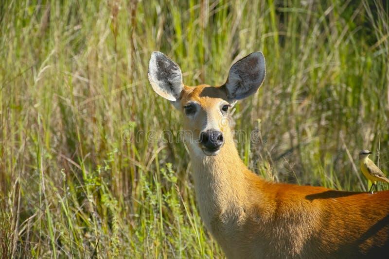 Kvinnlig Marsh Deer i gräs arkivfoto