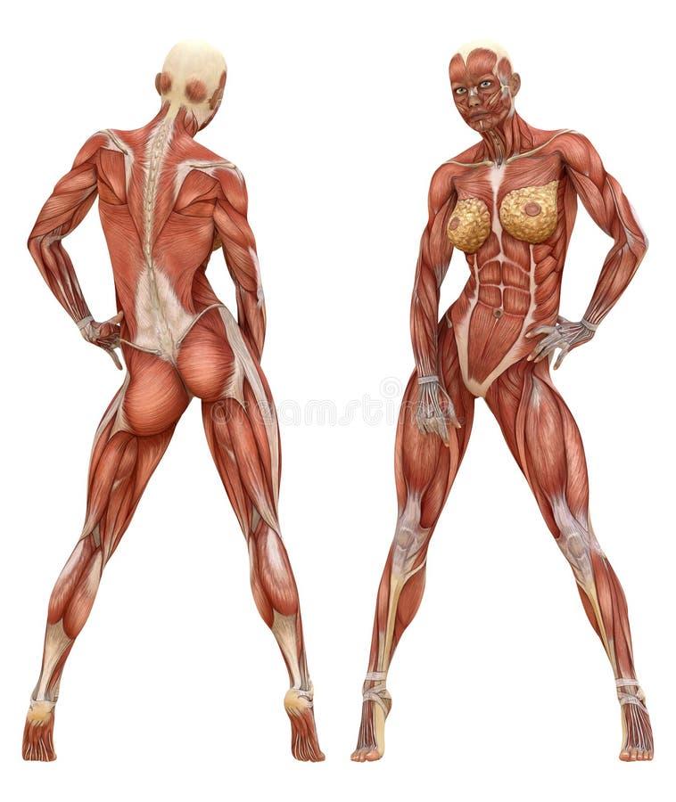 Kvinnlig muskulös systemanatomi vektor illustrationer