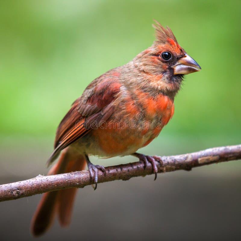 Kvinnlig nordlig kardinal royaltyfria foton