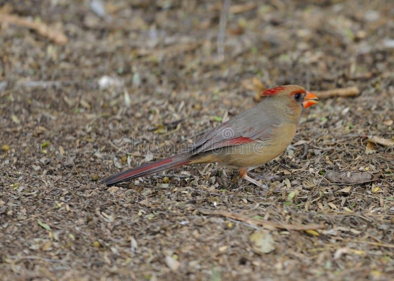 Kvinnlig nordlig kardinal Awaiting Gift royaltyfria bilder
