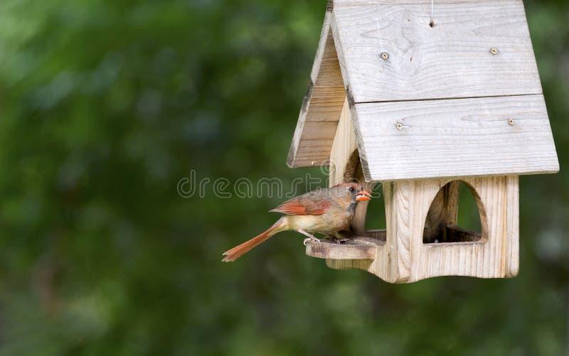 Kvinnlig nordlig kardinal - Cardinalis kardinaler royaltyfri bild