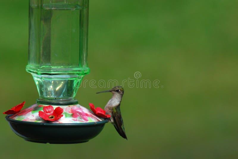 Kvinnlig rubin-throated kolibri som sitter på dekorativ förlagematare royaltyfri foto