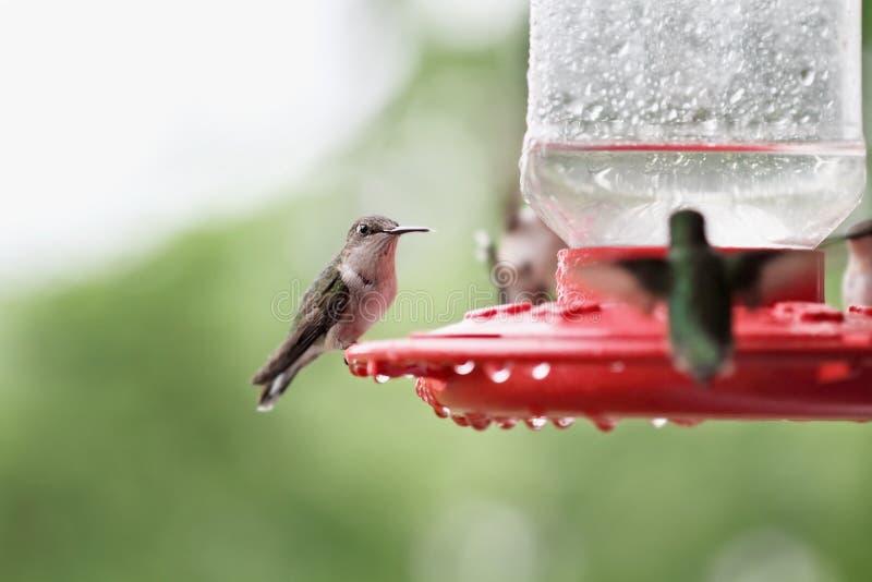 Kvinnlig Ruby-throated hummingbird arkivbilder