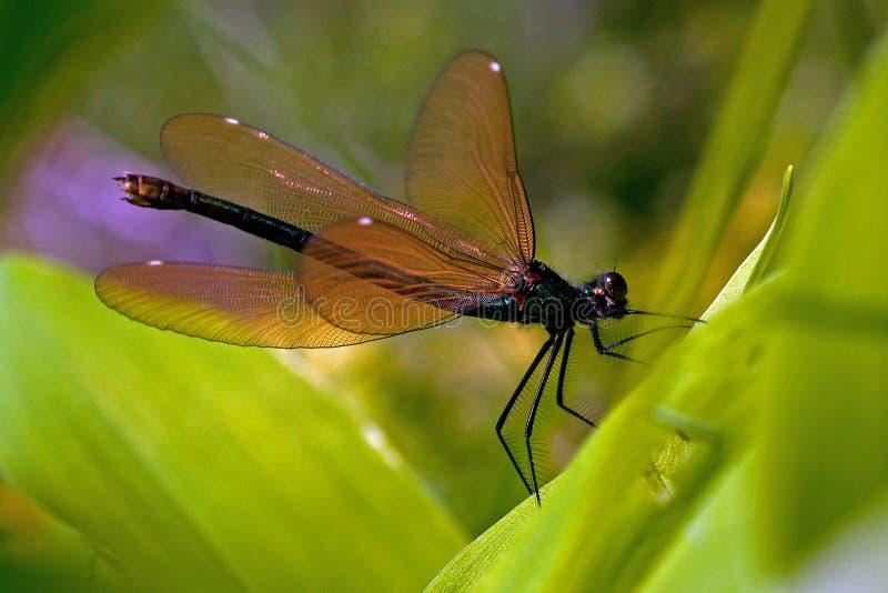 Kvinnlig satt band damselfly, calopteryxsplendens royaltyfri fotografi