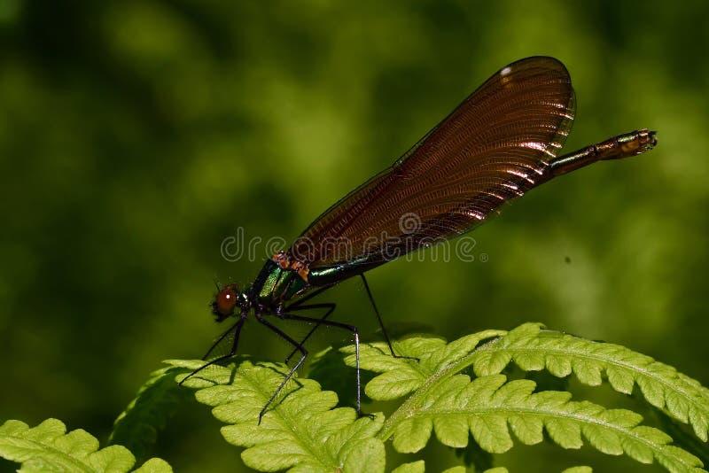 Kvinnlig satt band damselfly, calopteryxsplendens royaltyfri foto