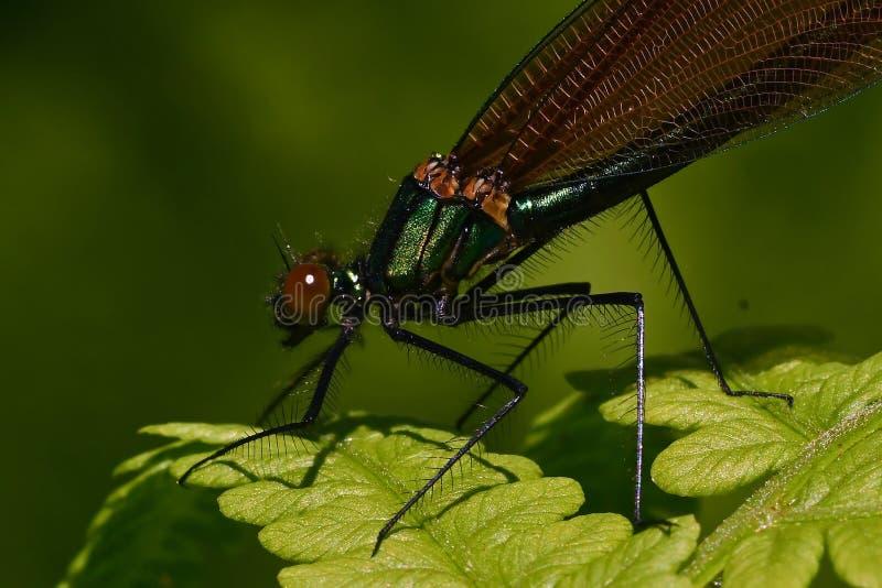 Kvinnlig satt band damselfly, calopteryxsplendens royaltyfria bilder
