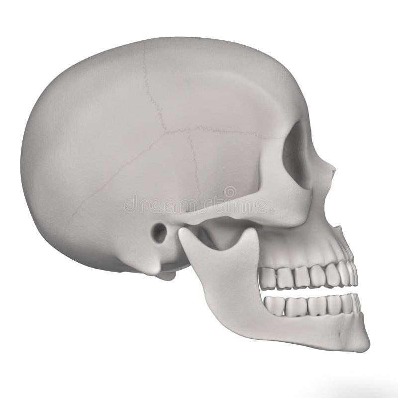 Kvinnlig skalle vektor illustrationer