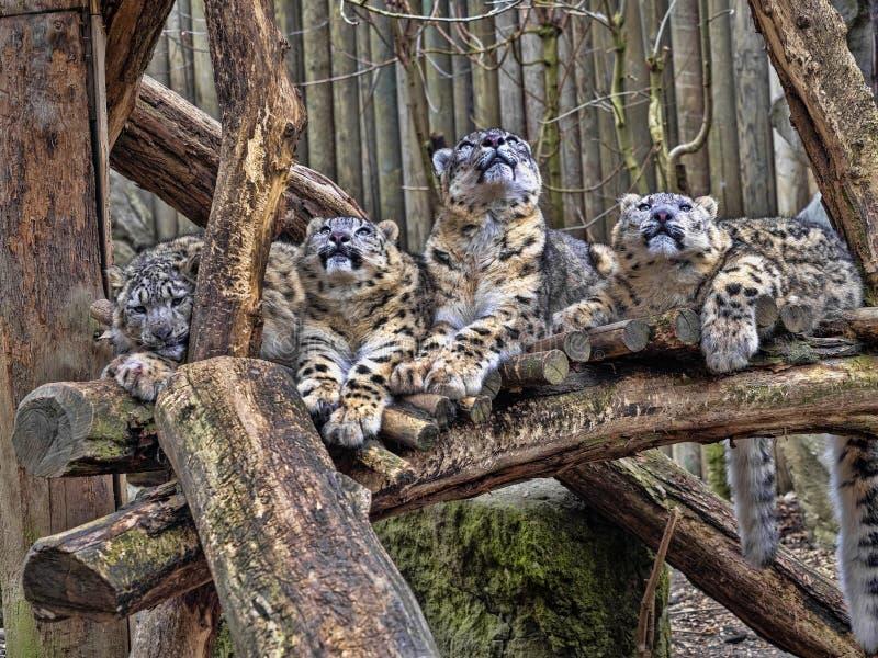 Kvinnlig snöleopard, Uncia uns, med subadultfågelungen royaltyfri bild