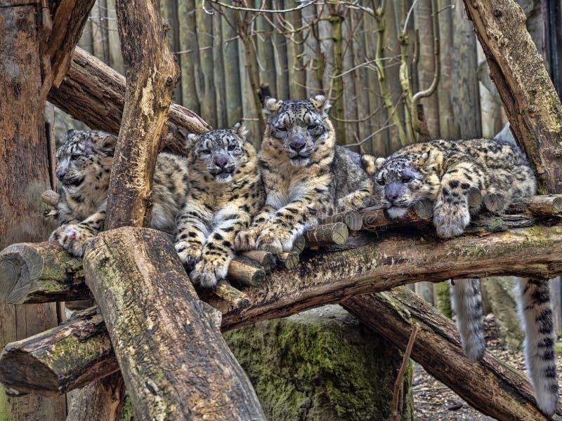 Kvinnlig snöleopard, Uncia uns, med subadultfågelungen royaltyfri fotografi