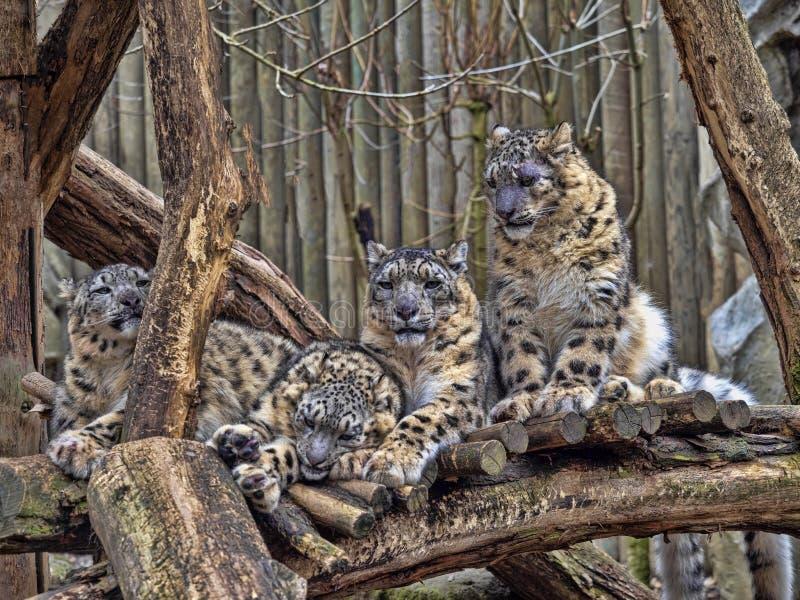 Kvinnlig snöleopard, Uncia uns, med subadultfågelungen arkivbilder