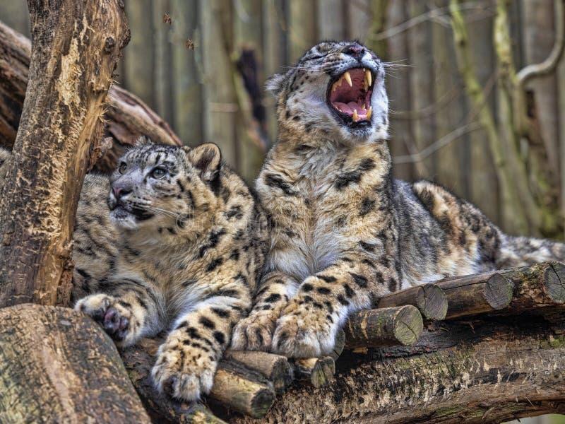 Kvinnlig snöleopard, Uncia uns, med subadultfågelungen fotografering för bildbyråer