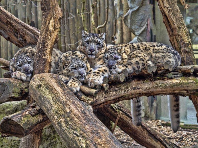 Kvinnlig snöleopard, Uncia uns, med subadultfågelungen royaltyfria bilder