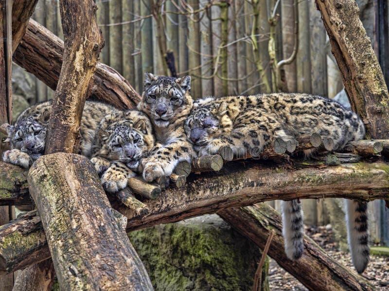 Kvinnlig snöleopard, Uncia uns, med subadultfågelungen royaltyfri foto