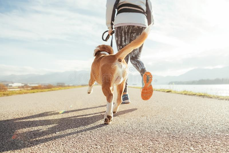Kvinnlig som startar morgonen som joggar med hans beaglehund förbi asfaltspringspåret Ljusa soliga morgonCanicross övningar royaltyfri bild