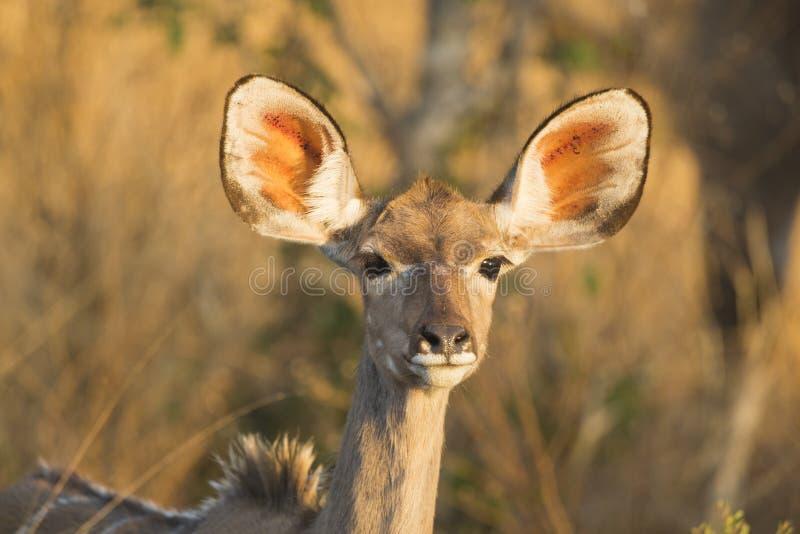Kvinnlig större Kudu (Tragelaphusstrepsiceros) stående royaltyfri bild