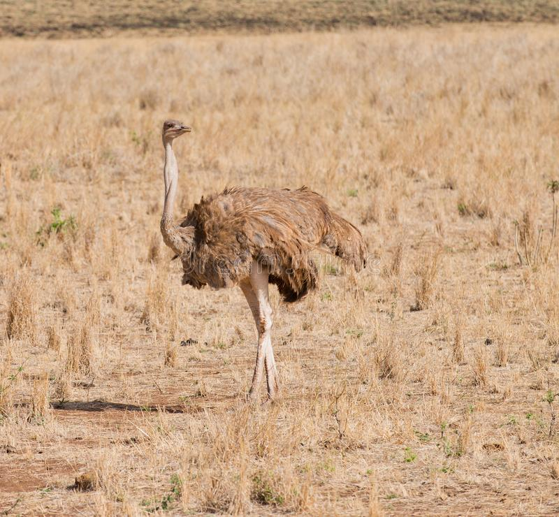 Kvinnlig struts på savannahen royaltyfri foto