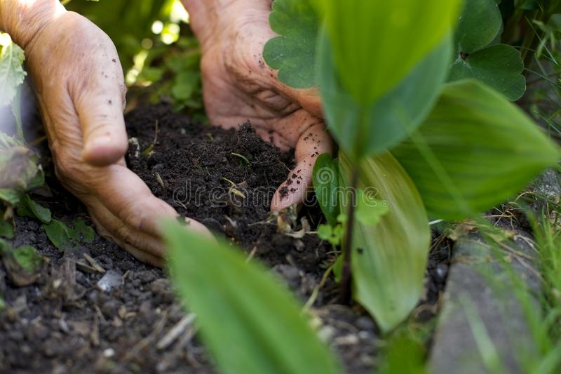 Kvinnlig trädgårdsmästare som arbetar i trädgård royaltyfria bilder