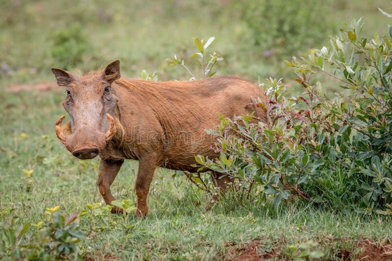 Kvinnlig vårtsvin som går i gräset arkivbilder