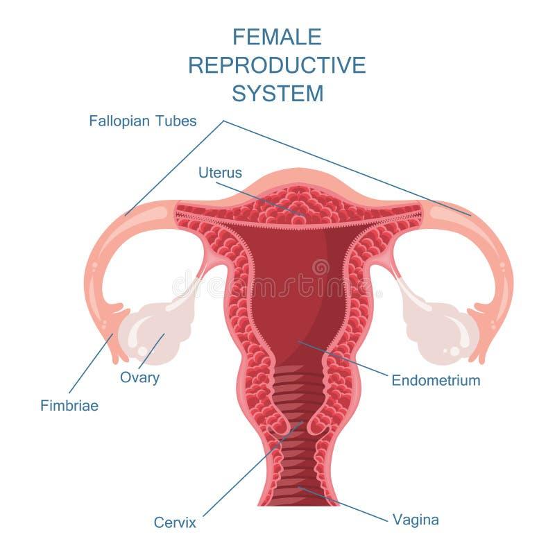 Kvinnlig vektorillustration för reproduktivt system vektor illustrationer