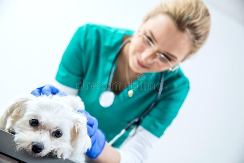 Kvinnlig veterinär royaltyfria foton