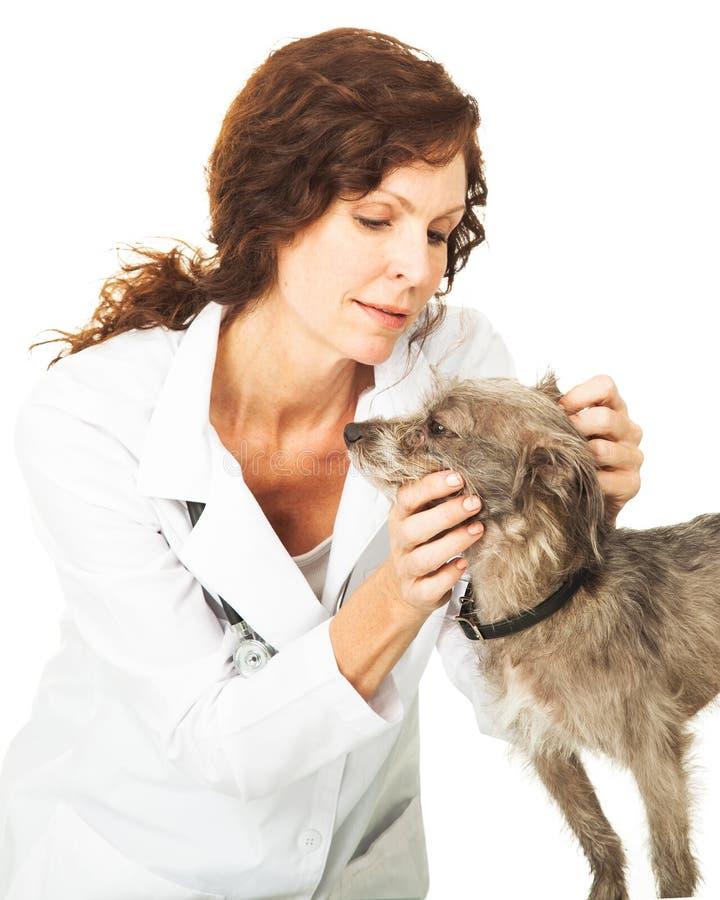 Kvinnlig veterinär Examining en liten hund royaltyfria foton