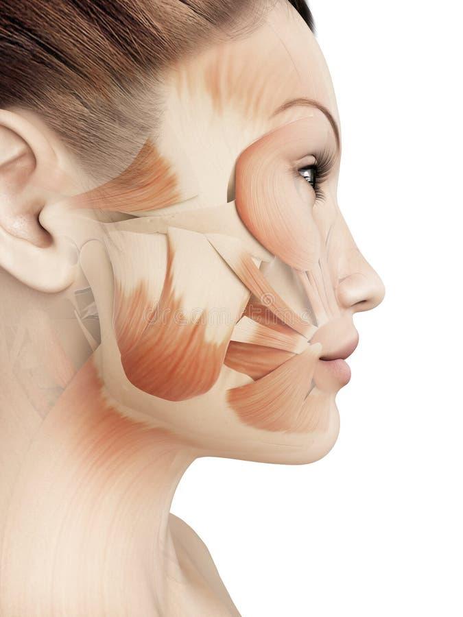 Kvinnliga ansikts- muskler royaltyfri illustrationer