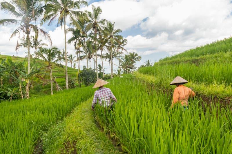 Kvinnliga b?nder som arbetar i kolonier f?r Jatiluwih risterrass p? Bali, Indonesien, South East Asia arkivbild