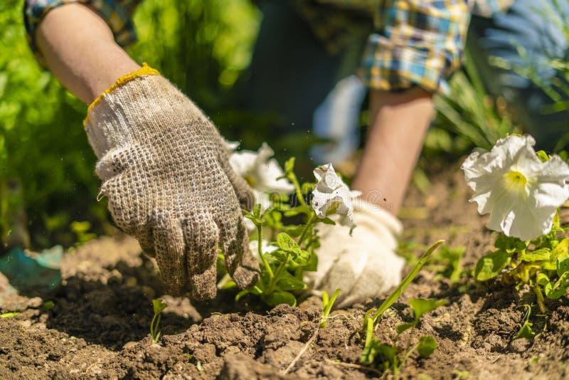 kvinnliga blomsterhandlarehänder i handskar planterar den unga ljusa blomman i trädgården på bygderna royaltyfri fotografi