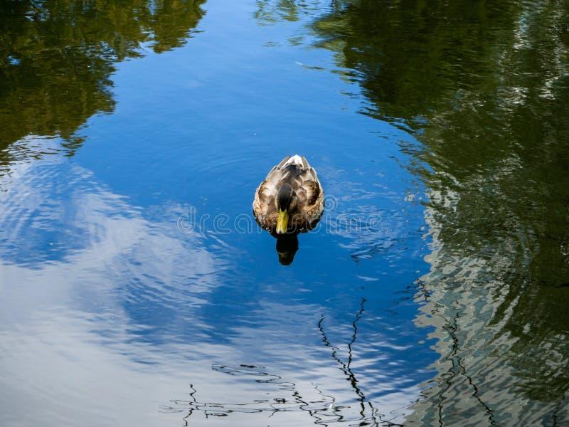 Kvinnliga gräsandAnasplatyrhynchos som simmar i ett damm royaltyfri foto