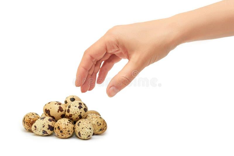 Kvinnliga händer rymmer rå ägg för en vaktel bakgrund isolerad white royaltyfria foton