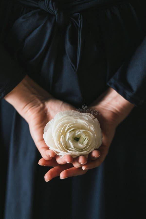 Kvinnliga händer som rymmer en vit ranunculusblomma royaltyfria foton