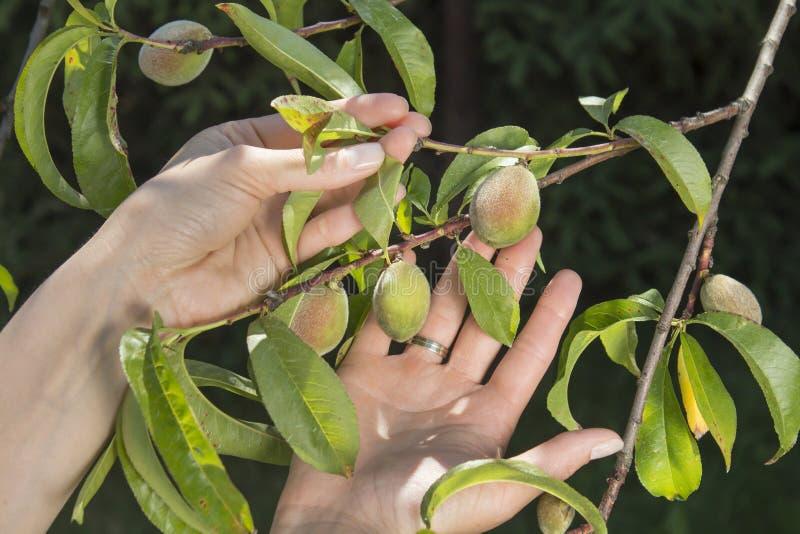 Kvinnliga händer visar ungt omoget växa för persikafrukter på ett träd som lider från krullningen av sidor royaltyfri foto
