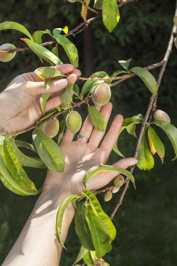 Kvinnliga händer visar ungt omoget växa för persikafrukter på ett träd som lider från krullningen av sidor royaltyfri bild