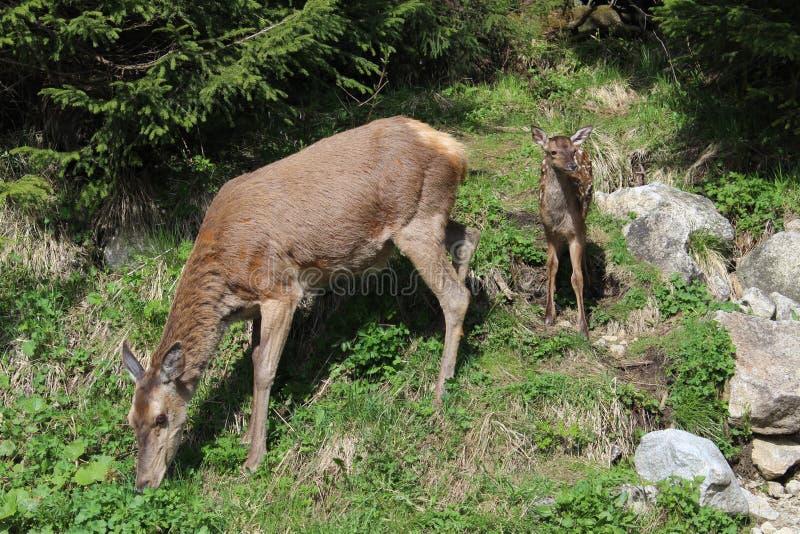 Kvinnliga hjortar och det ung gröngöling för ` s i nationalpark för Tatra ` s arkivfoton
