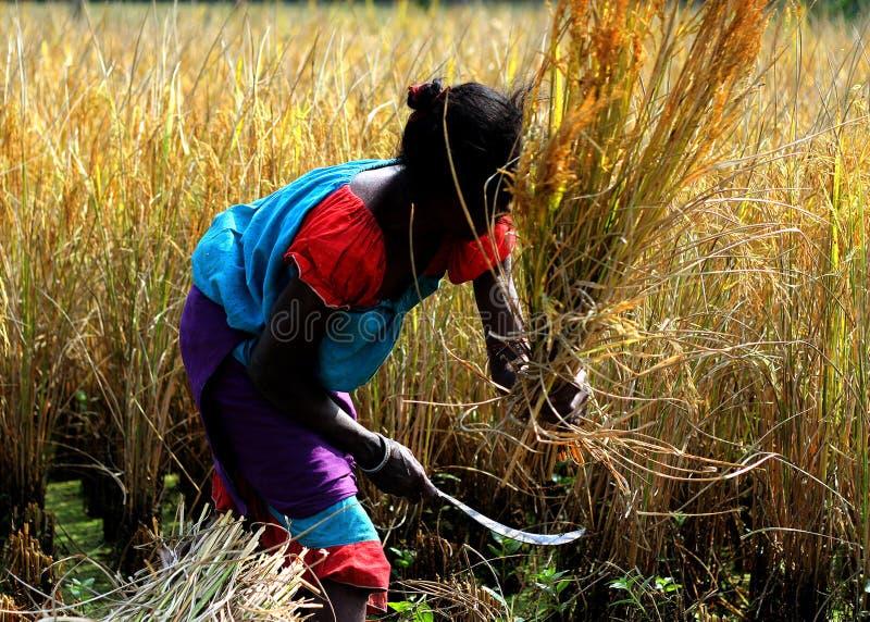 Kvinnliga lantbrukare arbetar i ett paddyfält i en avlägsen by royaltyfria bilder