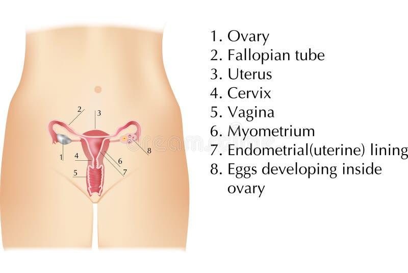 Kvinnliga organ stock illustrationer