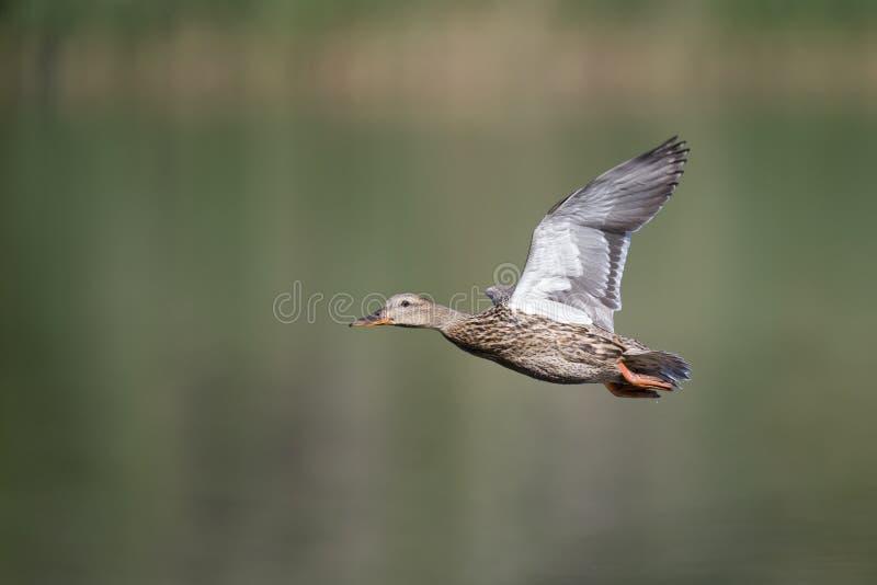 Kvinnliga platyrhynchos för Anas för en gräsandand som landar med full hastighet i en sjö i den cirty Berlin Germany royaltyfri fotografi