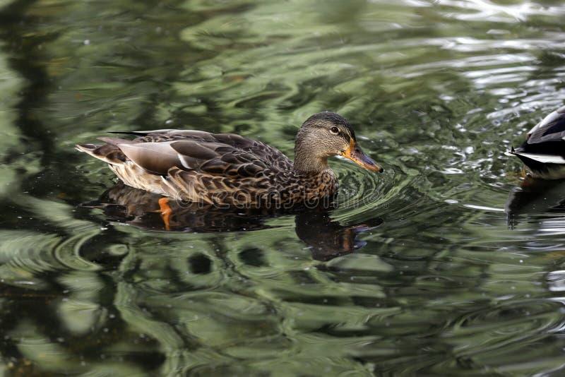 Kvinnliga platyrhynchos för Anas för lös and för gräsand som simmar på sjön royaltyfri foto
