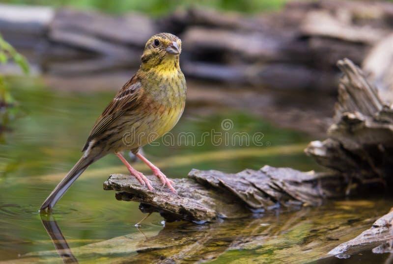 KvinnligCirl Bunting på waterhole royaltyfria foton