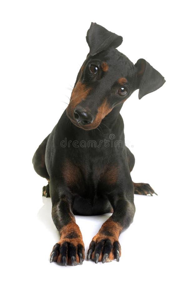 Kvinnligmanchester terrier arkivbild