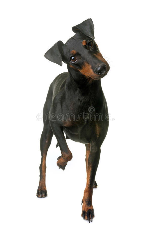 Kvinnligmanchester terrier arkivfoto