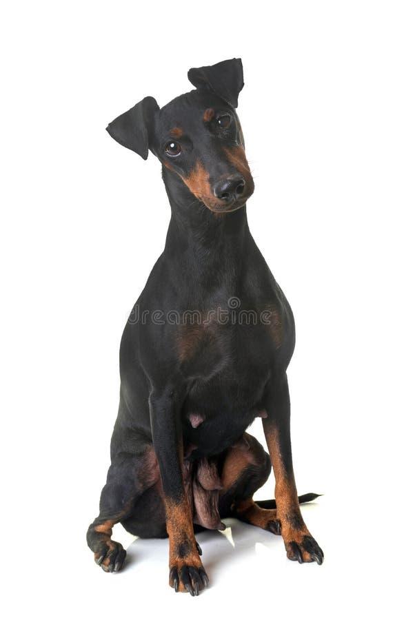 Kvinnligmanchester terrier royaltyfri foto