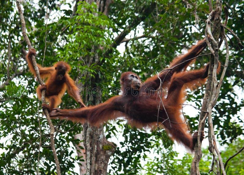 Kvinnlign av orangutanget med en behandla som ett barn i ett träd Indonesien Ön av Kalimantan & x28; Borneo& x29; arkivfoton