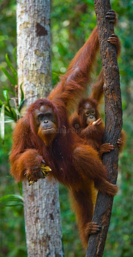 Kvinnlign av orangutanget med en behandla som ett barn i ett träd Indonesien Ön av Kalimantan & x28; Borneo& x29; royaltyfri foto