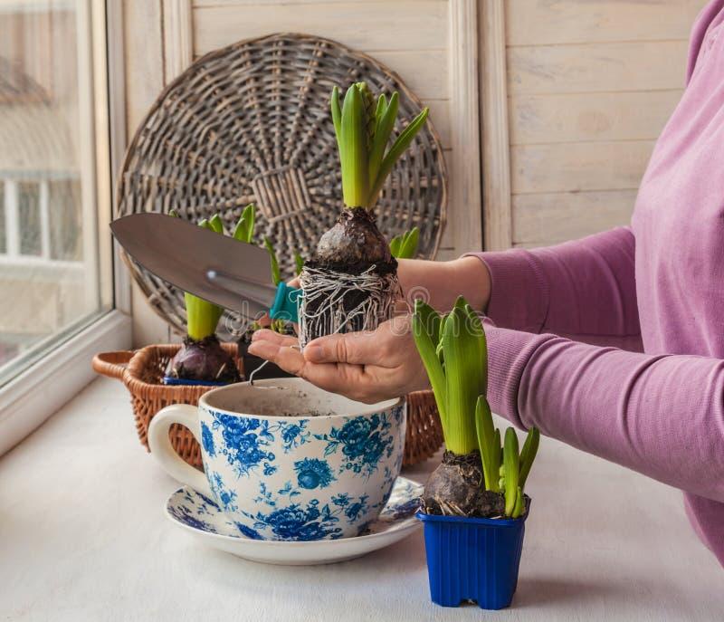 Kvinnlign räcker hyacinten i en transplanterad kruka arkivbild
