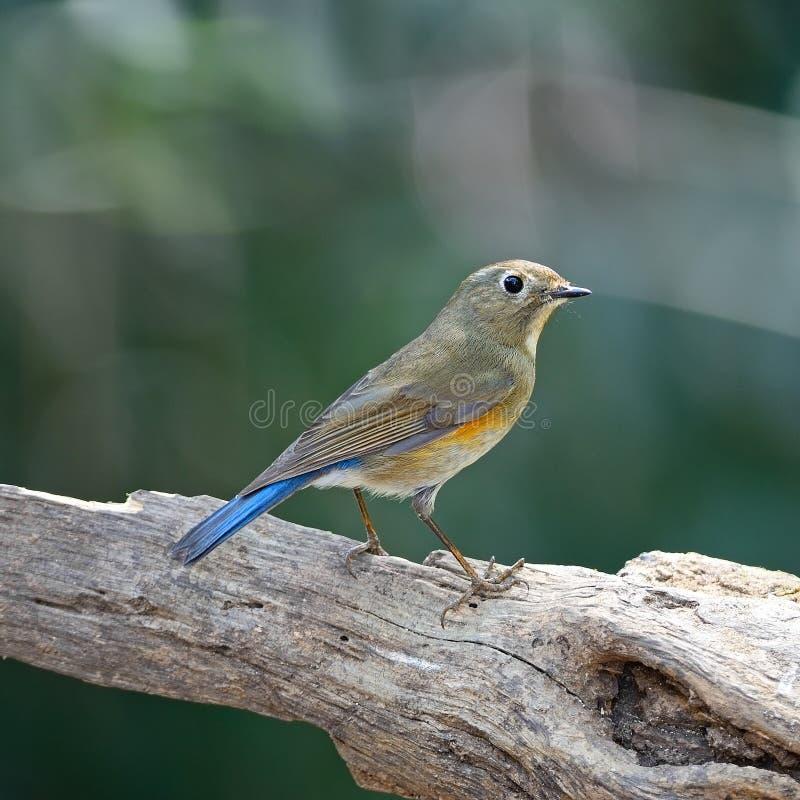 Kvinnlign Röd-flankerade Bluetail royaltyfria bilder